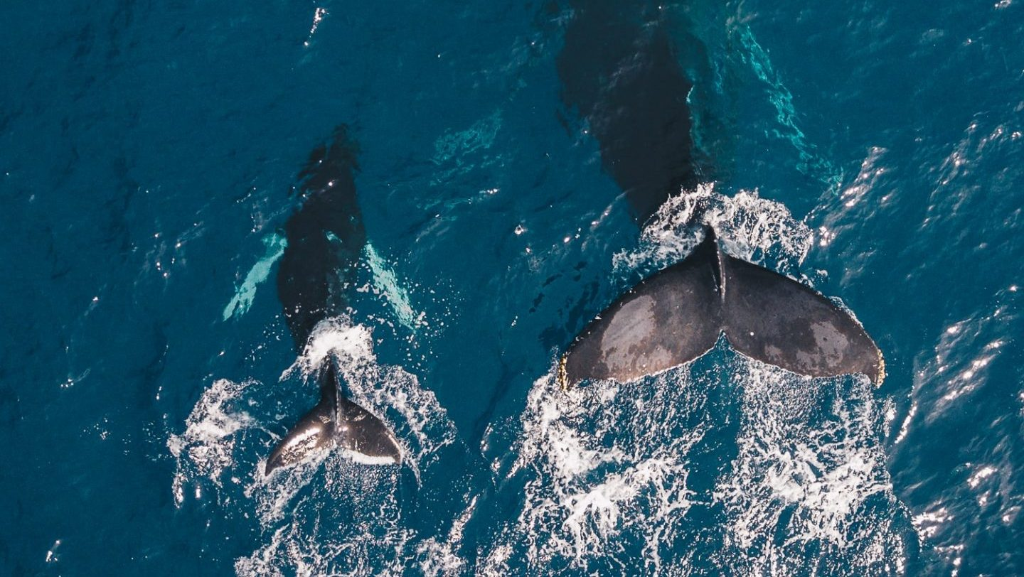 Two black whales swimming in body of water