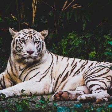 Tiger poaching 'still at danger level'