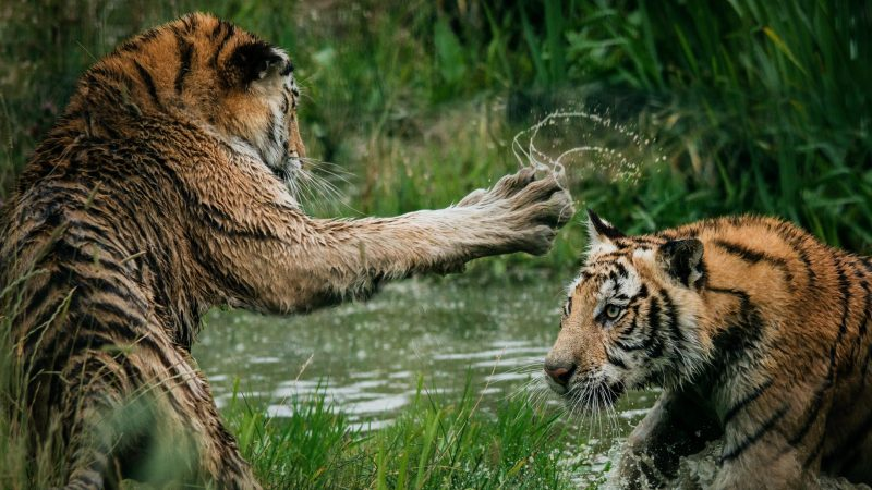 Tigers Fighting in Swamp