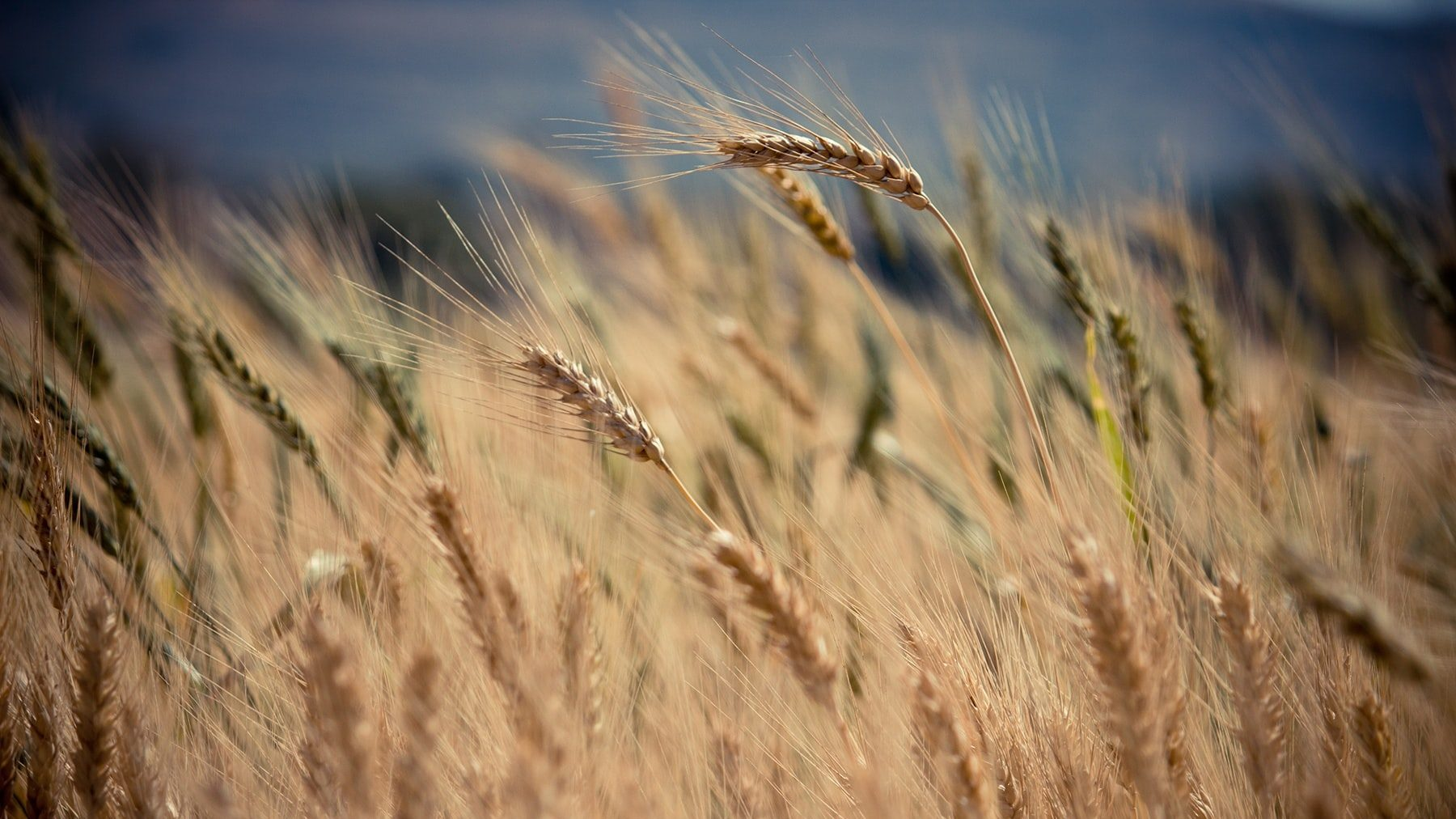 Farmers Accidentally Plant 30,000 Acres Of GM Crops